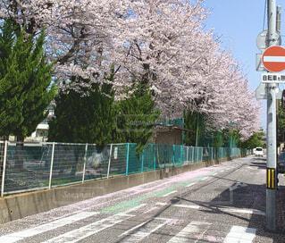スクールゾーンと桜の写真・画像素材[4295824]