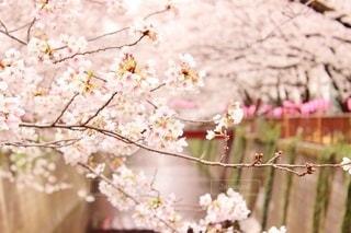 目黒川の桜祭りの写真・画像素材[3452773]