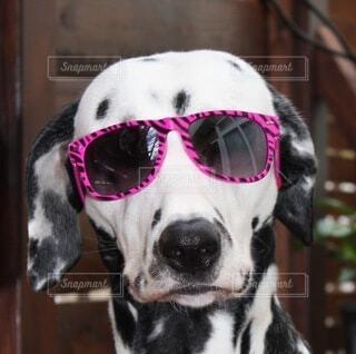 サングラスをかけている犬の写真・画像素材[3769142]