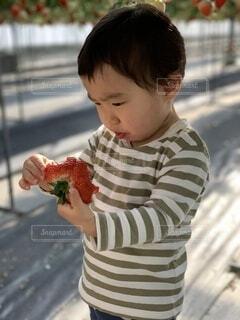 子ども,食べ物,冬,屋外,苺,果物,野菜,人,赤ちゃん,食品,幼児,畑,男の子,1歳,幼稚園,収穫,0歳,保育園,食材,採れたて,フレッシュ,ベジタブル,イチゴ,boy,未就学児,採れたて野菜