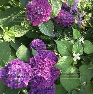 植物の紫色の花のクローズアップの写真・画像素材[3459942]