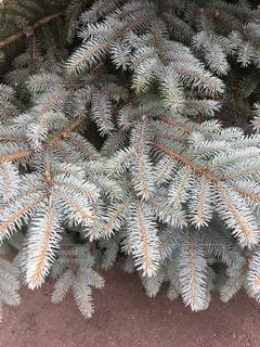 針葉樹の写真・画像素材[3466806]