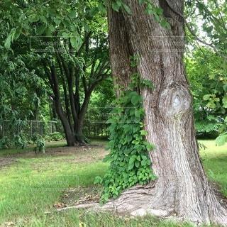 大きな木の写真・画像素材[3468191]