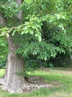 森の中の大きな緑の木の写真・画像素材[3479038]