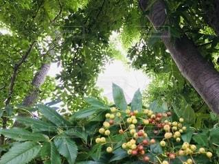真夏のナナカマドの写真・画像素材[3505354]