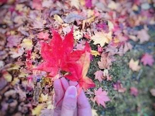 鮮やかな紅葉の写真・画像素材[3812532]