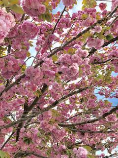 街路樹の豪華な八重桜の写真・画像素材[2060519]
