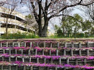 桜と芝桜のコラボレーションの写真・画像素材[2061369]