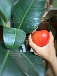 ゴムの木とリンゴの写真・画像素材[3473735]