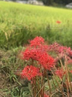 木の曼珠沙華と田んぼの写真・画像素材[3617418]