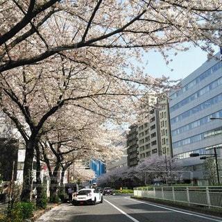 桜並木の写真・画像素材[3525090]