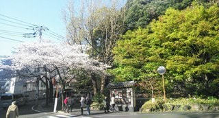 桜と緑の写真・画像素材[3525148]