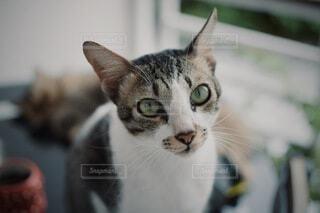 カメラをじーっと見る飼い猫の写真・画像素材[3951076]