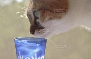 猫,飲み物,インテリア,夏,水,氷,ガラス,ねこ,コップ,食器,cat,ドリンク,ライフスタイル