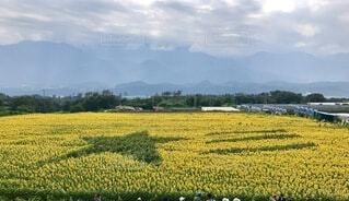 ひまわり畑の写真・画像素材[4657255]