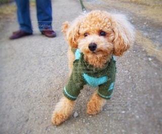 暖かそうなセーターを着たトイプードルの冬散歩の写真・画像素材[4147802]