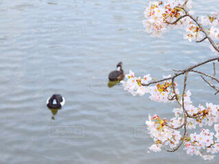桜の花と池の鴨の写真・画像素材[4292528]