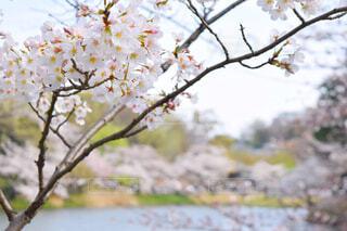 対岸の池沿いの木々を背景にした桜の花の写真・画像素材[4298977]