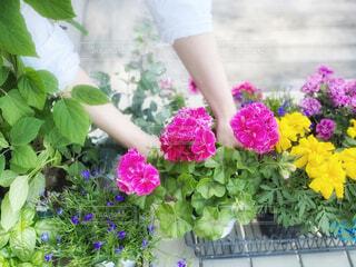 庭で寄せ植え用の花苗を選ぶ女性の写真・画像素材[4351794]