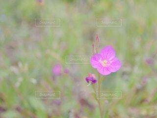 一輪のピンクの小花(クローズアップ)の写真・画像素材[4363089]