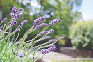自宅の庭のラベンダー②の写真・画像素材[4378017]