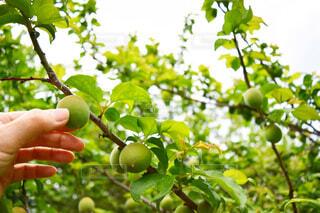 梅の木の実に触れる女性の手②の写真・画像素材[4381799]
