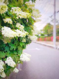 散歩中に見かけた柏葉紫陽花(カシワバアジサイ)②の写真・画像素材[4448946]