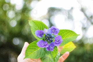 手に持った一輪の小さなガクアジサイ(青紫色)の写真・画像素材[4556998]