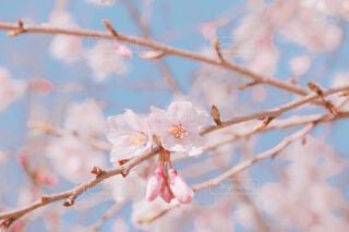 さくらの花の写真・画像素材[4248464]