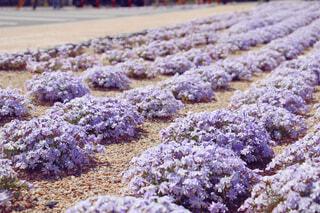 芝桜の写真・画像素材[4335994]