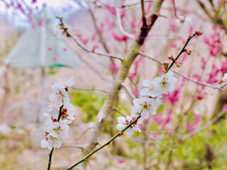梅の花の写真・画像素材[4354157]