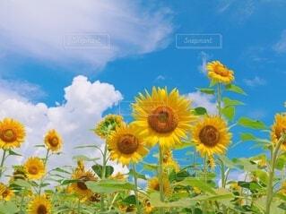 ひまわり畑の写真・画像素材[4657465]