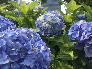 紫陽花の談笑の写真・画像素材[3496868]