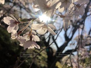桜のソーラーパネルの写真・画像素材[3496867]