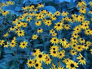 青の中にたくさんの黄色の写真・画像素材[3549795]