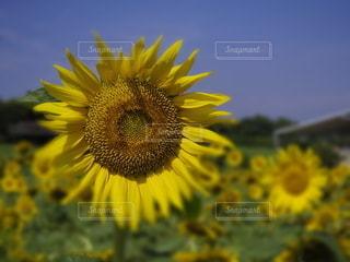 向日葵の写真・画像素材[3517798]