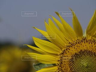 向日葵のアップの写真・画像素材[3517799]
