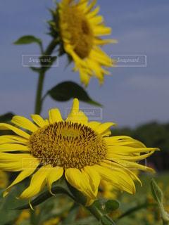 上を向いた向日葵の写真・画像素材[3517802]