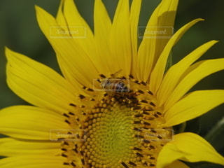 蜂と向日葵の写真・画像素材[3517800]