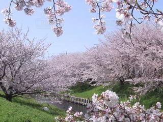 桜満開の写真・画像素材[3523778]