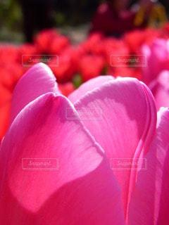 チューリップのピンクの写真・画像素材[3523779]