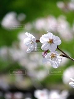 桜の写真・画像素材[3523780]