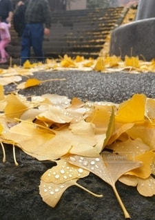 雨上がりのイチョウの写真・画像素材[3524871]