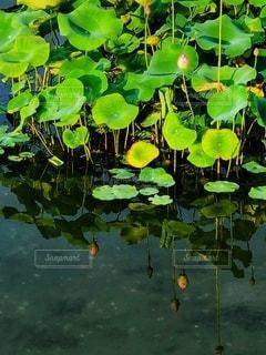 水面に映る水蓮の蕾の写真・画像素材[3519259]