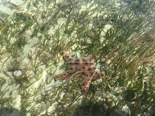 セブ島でヒトデ発見の写真・画像素材[3513033]