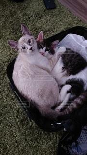 キャリーバッグに入る猫の写真・画像素材[3527857]