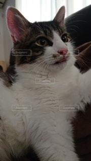 猫のクローズアップの写真・画像素材[3527858]