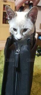 出勤前の猫の写真・画像素材[3527859]