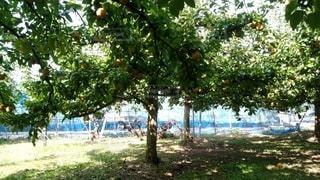 梨の木の写真・画像素材[3527876]