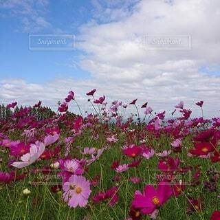晴れた日のコスモス畑の写真・画像素材[3787382]